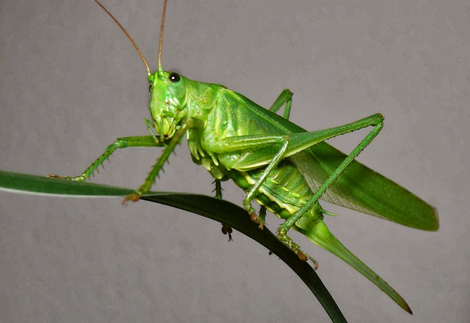 1 any of numerous planteating orthopterous insects Acrididae Tettigoniidae and some related families having the hind legs adapted for leaping and sometimes engaging in migratory flights in which whole regions may be stripped of vegetation